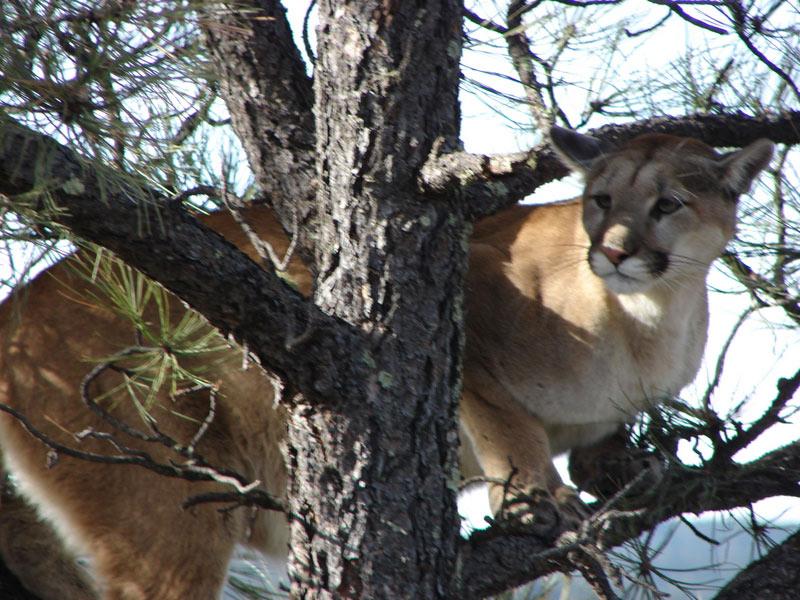 lion-hunt-08-2 - Gary Webb Guide & Outfitter : Gary Webb